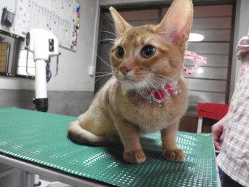 猫美容 アビシニアン ラムネちゃん