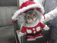 猫 美容 ネイルキャップ 天君 ソマリ
