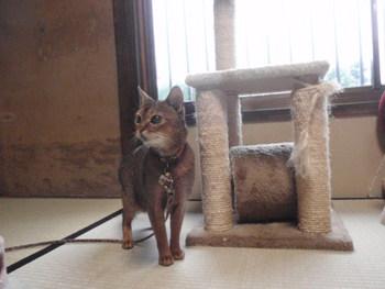 猫カフェ みーこ あび母ちゃん アビシニアン