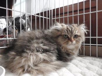 猫 販売 チンチラゴールデン メス
