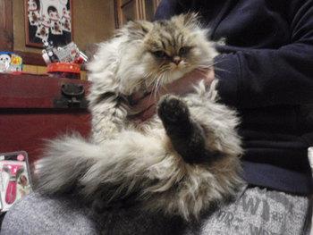 猫カフェ みーこ ちょび君 チンチラ
