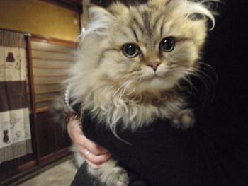 猫 販売 チンチラゴールデン