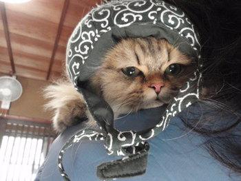 猫 チンチラ 販売