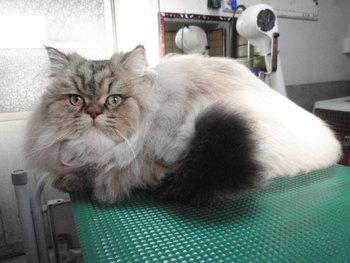 猫 ミニ美容 ちょび君 チンチラゴールデン