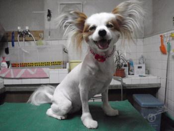 犬美容 ライオンカット りんちゃん家族 パピヨン