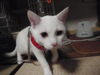 猫カフェ みーこ ぎん君 白猫