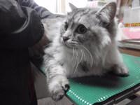 猫 ミニ美容 ルウちゃん