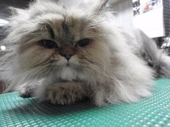 猫 美容 ミーちゃん&シオ君 チンチラ
