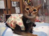 猫 カフェみーこ 大ちゃん アビシニアン