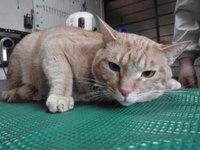 猫 美容 こたろう君 茶トラ