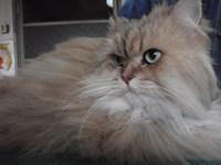 猫 ミニ美容 ソラ君 チンチラ