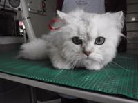 猫 美容 ルナちゃん チンチラ