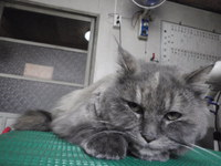 猫 美容 ククちゃん