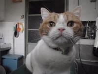 猫美容 ミュー君 スコティッシュ