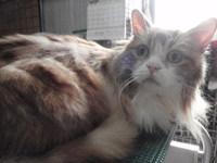 猫 美容 なっちゃん ラガマフィン