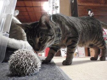 猫 ハリネズミ あられちゃん 1歳おめでとう