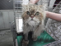 猫 美容 ライオンカット ミュウ君 チンチラ