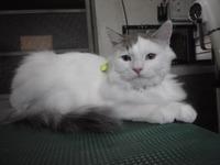 猫 美容 ラガマフィン グレア君