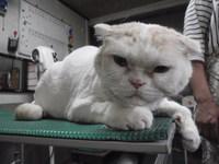猫 美容 ライオンカット モコ君 スコティッシュ