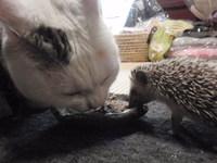 猫 ハリネズミ ちこちゃん&がっちゃん