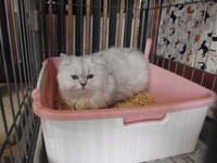 猫 ホテル ミニ猫美容 ルナちゃん チンチラ