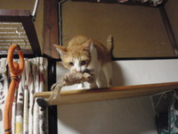 猫 猫カフェみーこ ハチ