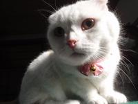 猫 ミニ美容 クーちゃん スコティッシュ