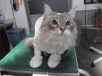 猫 美容 ライオンカット マミちゃん&ペィちゃん
