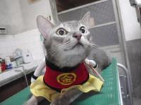 猫 金太郎さん 海ちゃん&茶~ アビシニアン