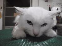 猫 ライオンカット 美容 しろちゃん ノルウェージャン