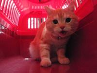 猫 ミニ美容&猫カフェ スコティッシュの マロ君 ナッシュ君