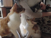 猫 カフェみーこ 里親募集中