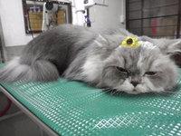 猫 美容 長毛猫家族 ベル君 チャアちゃん