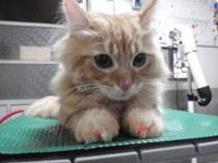 猫 美容 エル君 ラガマフィン