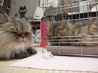 猫カフェみーこ ちょび君 チンチラ