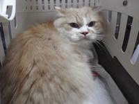 猫 ミニ美容 チャッピー君 マンチカン