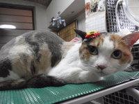 猫 美容 ライオンカット ミンミンちゃん