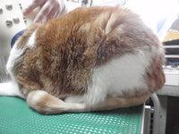 猫 ミニ美容 猫じゃらシッポ レオ君 スコティッシュ