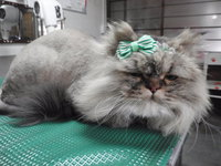 猫 美容 ライオンカット ちょび君 チンチラ