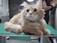 猫 美容 ネイルキャップ エル君 ラガマフィン