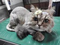 猫 美容 ライオンカット カイ君 チンチラ