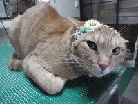 猫 美容 こたろう君