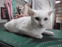猫 ミニ美容 こうめちゃん 白猫