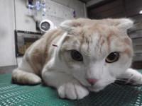 猫美容 レオン君 スコティッシュ