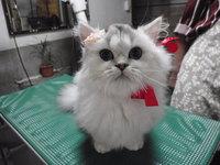 猫 美容 チンチラ マリアンちゃん