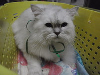 猫 美容 ライム君 チンチラ