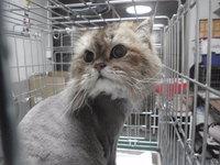猫 美容 ライオンカット ミュウ君
