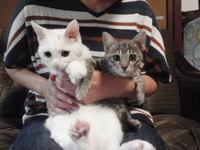 猫 里親決まり 白猫&グレトラ