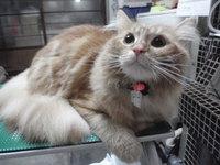 猫美容 エル君 ラガマフィン