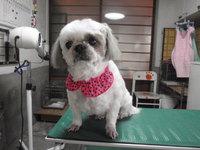 猫 犬美容 シーズー ハナちゃん